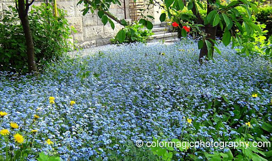 Forget-me-not groundcover