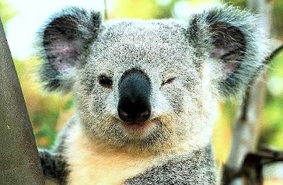 terselubung: 10 Fakta Unik Tentang Koala