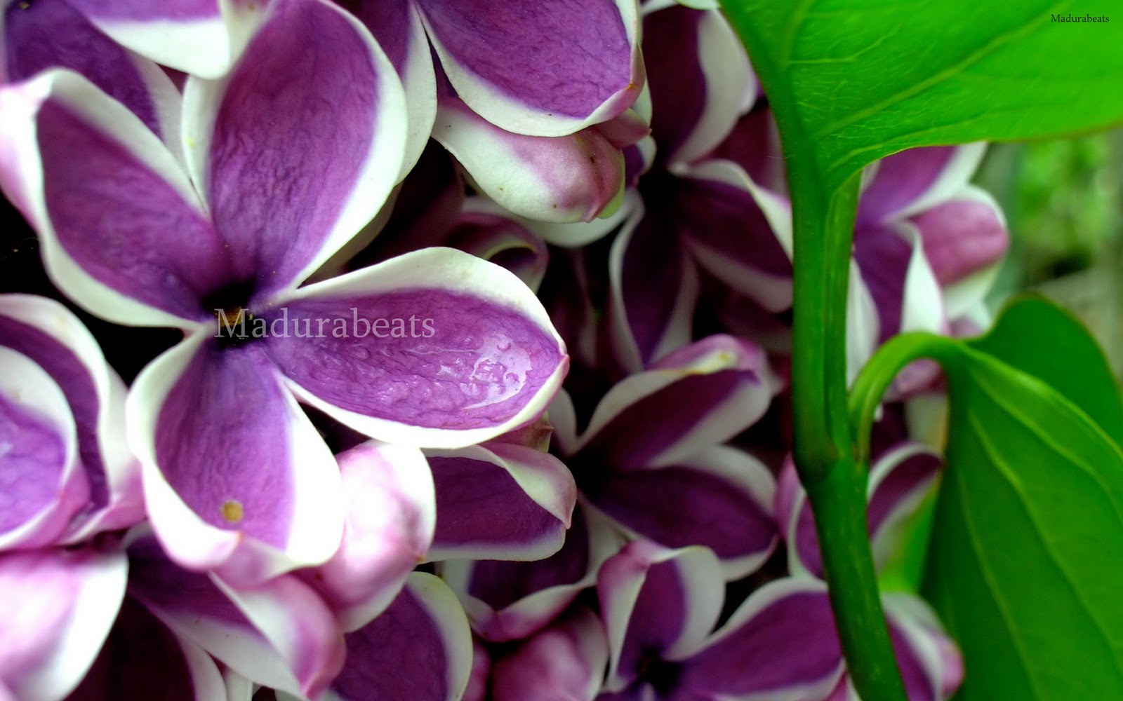 Flower images, Wide screen wallpapers,fresh flowers,Beautiful flowers,Lilacs_Syringa_purple_flower_Wide screen_wallpaper
