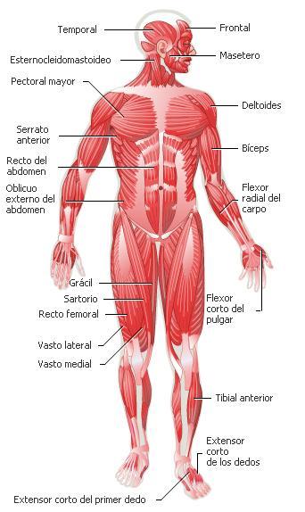 Los Músculo frontales del cuerpo humano