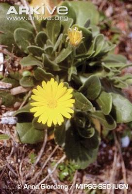 flores en extincion Caléndula de mar Calendula maritima