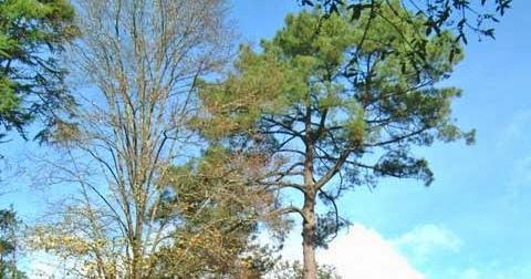 Braga on provavelmente o maior pinheiro bravo do mundo for Piscinas v h ramos lda braga