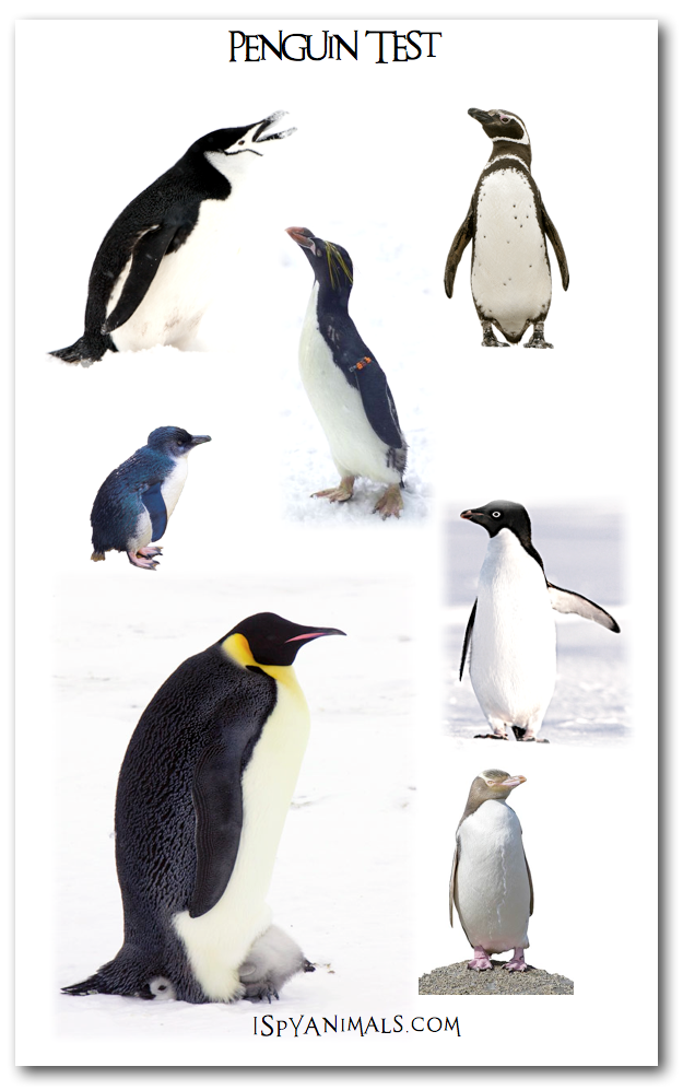 ... Different Penguin Species. on 17 different species of the penguins