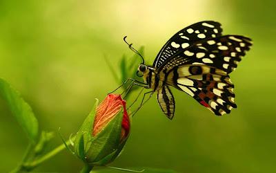 Màu sắc của các loài bướm được tạo ra từ hàng nghìn vảy nhỏ li ti, được xếp lên nhau. Đôi khi nó cũng là những hạt có màu, nhưng trong trường hợp thông thường thì bề mặt tạo ra các vảy này có thể khúc xạ ánh sáng, do đó cánh bướm có màu liên tục thay đỏi, lấp lánh khi di chuyển. Thường thì phía dưới có màu xám hoặc nâu khác xa với màu sặc sỡ ở phía trên. Những màu xấu xí này sẽ dùng để ngụy trang khi cánh của nó xếp lại. Điều này sẽ giúp nó thoát khỏi con mắt săn lùng của các loài chim và sâu bọ khác.