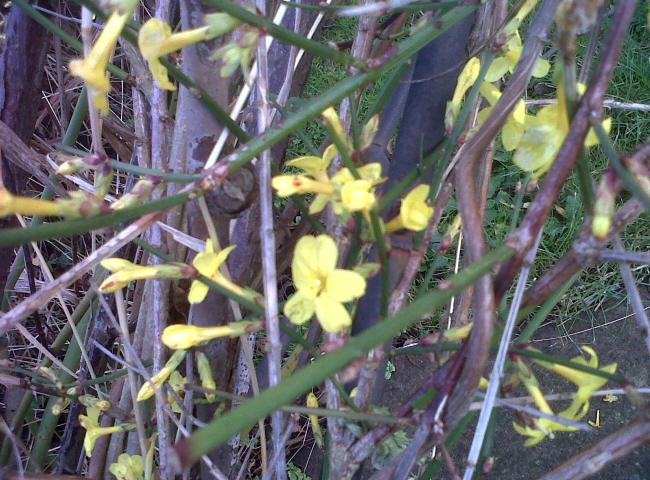 Winter jasmine flowers