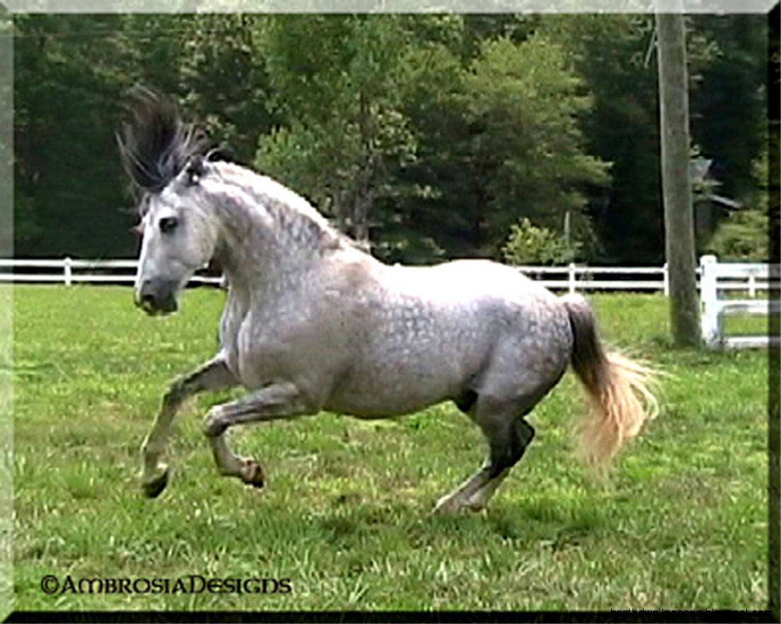 Black Andalusian For Sale 36
