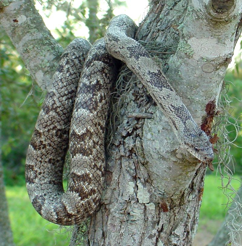 Gray Rat Snake ...