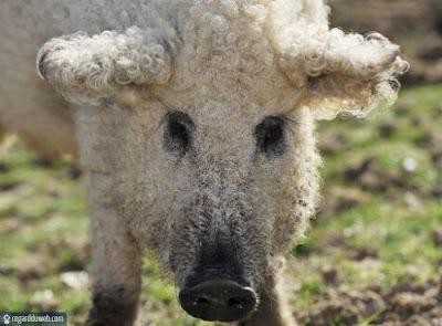 Photos poilantes et insolites Animal - Cochon v54