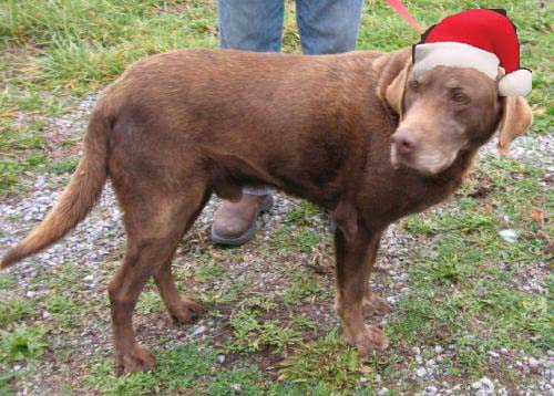Senior Pets All They Need Is Love Update Adopted Coco A 14 Year Old Chocolate Labrador