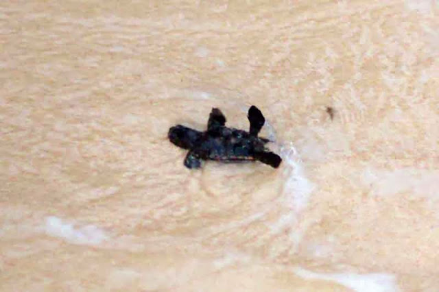 baby sea turtle flipped by tide