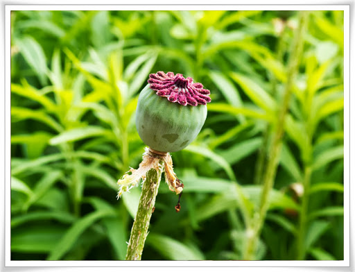 Utblommad okänd blomma