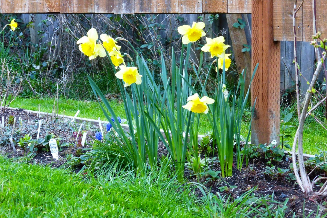 spring garden, garden, daffodils, spring daffodils