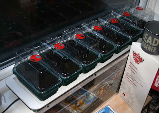 All of the trays filled with slowly warming compost
