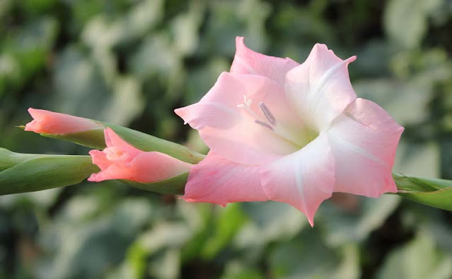 Gladiolus Flowers Pictures