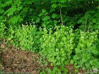 http://plantsgallery.blogspot.com/2011/05/alliaria-petiolata-czosnaczek-pospolity.html