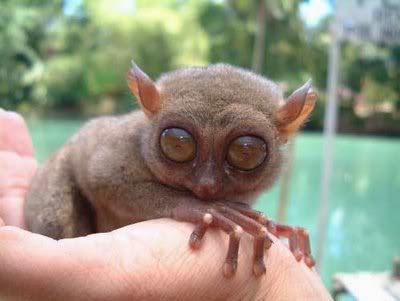 Tasier Pygmy (Tarsius Pumilus)