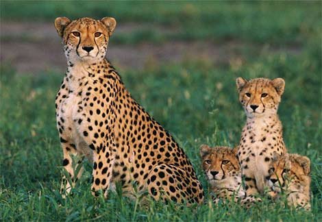 an analysis the habitat of cheetahs and their performances Cheetahs require a specific habitat that allow them to safely reproduce, hide, hunt, and seek shade to regulate body temperatures in hot climates and during warm seasons.