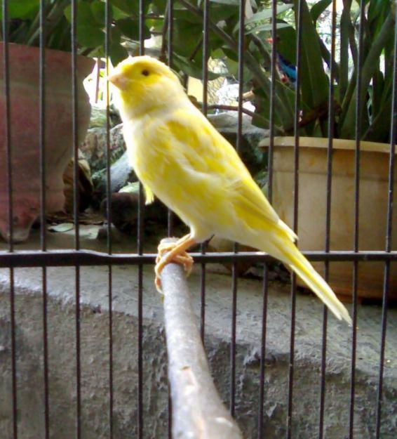 Budidaya Burung VIDEO BURUNG KENARI SEDANG BERKICAU