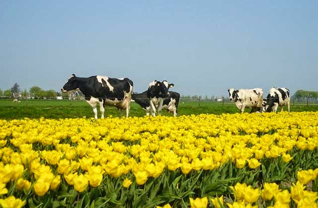 Cows grazing among tulips in Beemster Polder in Holland