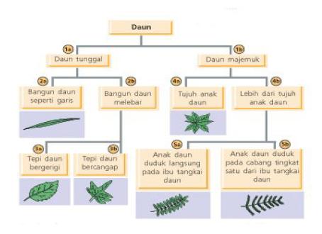 Contoh kunci dikotom yang menunjukkan klasifikasi 6 jenis daun