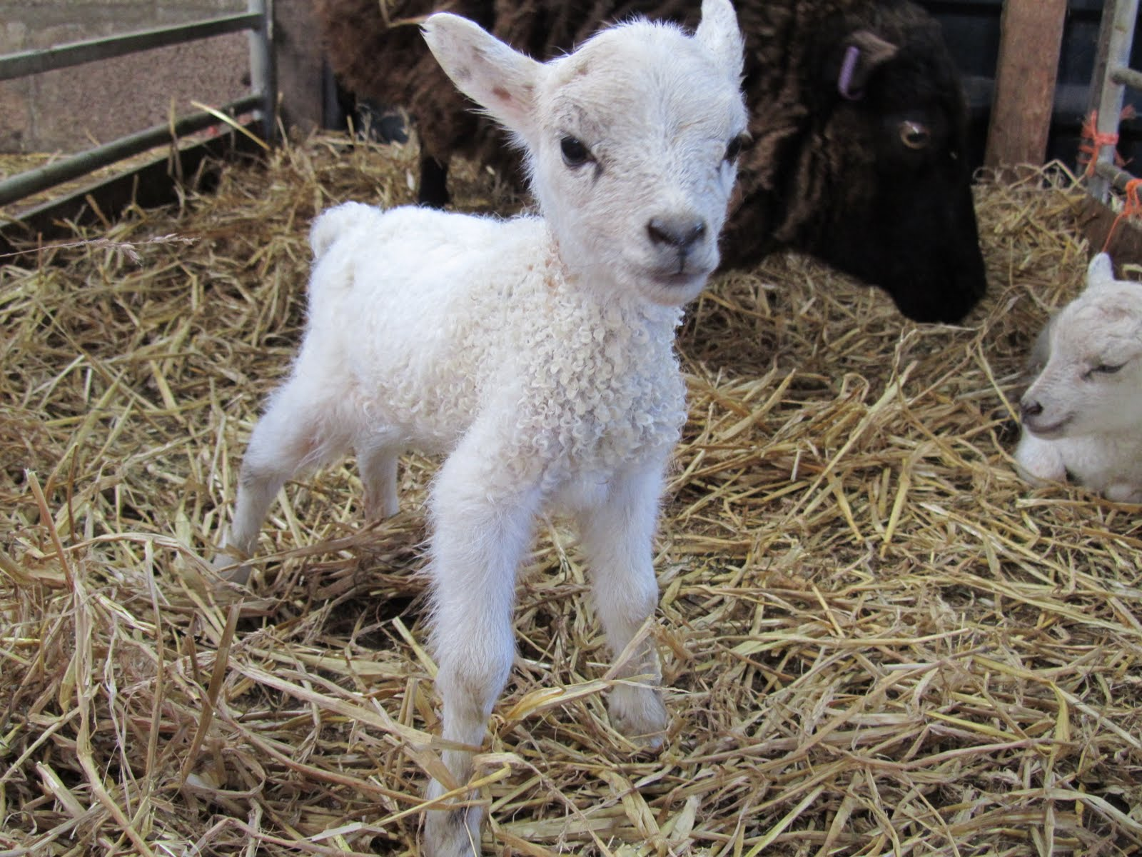Fair Isle: Happy Easter  for Happy Baby Lamb  177nar
