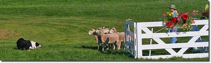 SHEEPDOG TRIALS, August 8 - 10