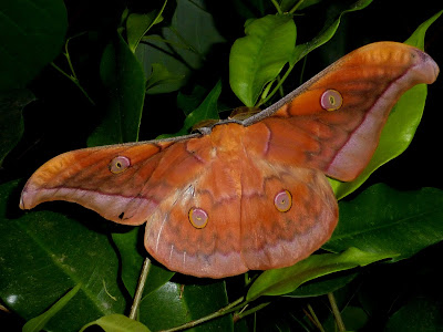 Antheraea jana male