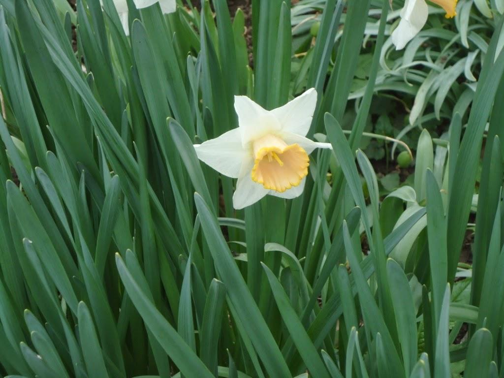 Narcissus, Family Amaryllidaceae