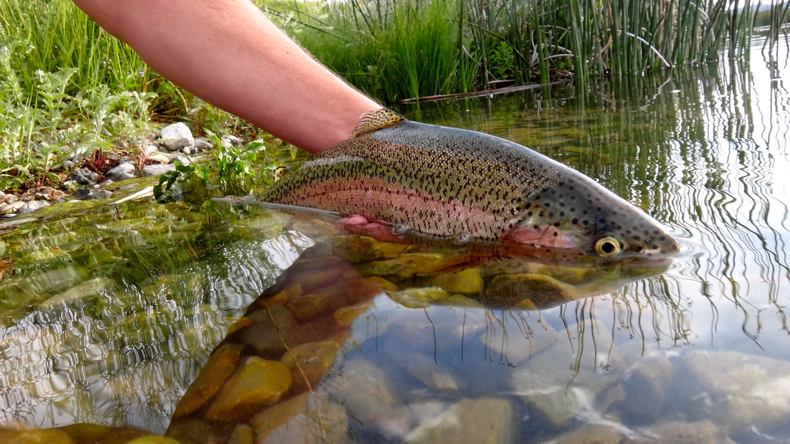 The fly syndicate eastern nevada camping and fishing for Fly fishing nevada