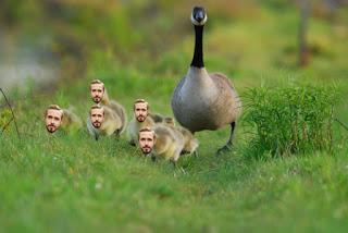 http://www.tshirtvortex.net/wp-content/uploads/Ryan-Gosling-Goose.jpg