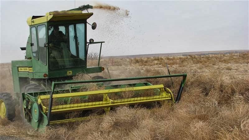 Une moissoneuse batteuse pour lutter contre la sécheresse