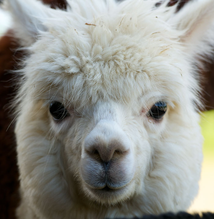 Alpaca Face Red and the Pea...
