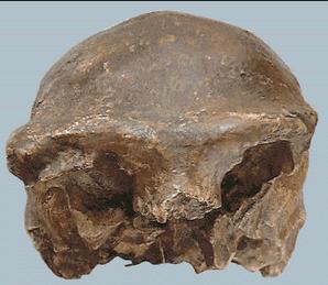 Gambar Pithecanthropus Soloensis