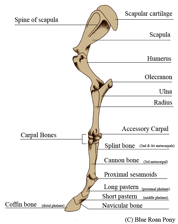 Anatomy of the leg bones