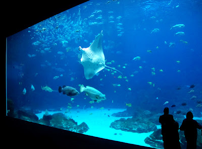 Manta Ray, Ocean Voyager, Georgia Aquarium