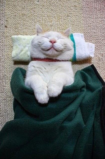 Shironeko sleepy cat