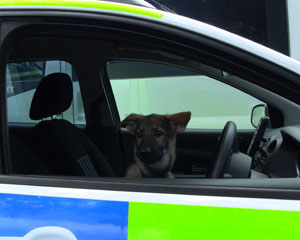 German shepherd puppy sat behing the wheel of a police van looking out of the window
