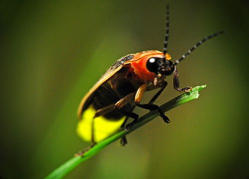 Cara Kunang-kunang Menghasilkan Cahaya [ www.BlogApaAja.com ]
