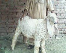 Bakra Eid 2013,Camel Qurbani,Eid Al Adha Mubarak,Cow ... | 220 x 176 jpeg 10kB