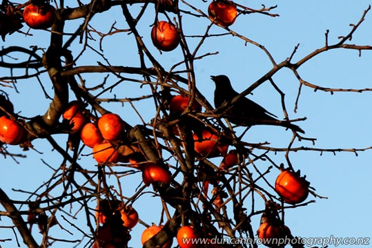 Persimmon Bandit, Frederick St, Hastings photograph