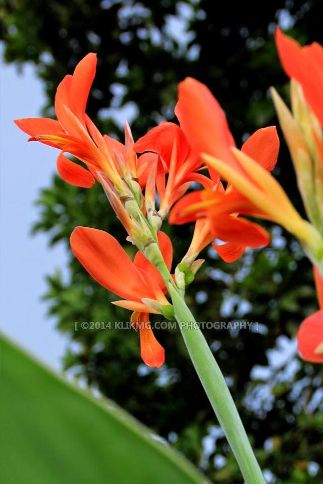 Bunga Bakung Orange di Halaman Rumah