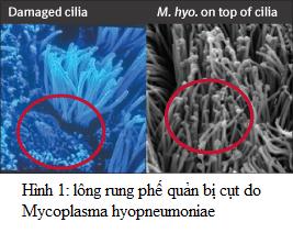 Lông rung bị cụt do M. hyopneumoniae