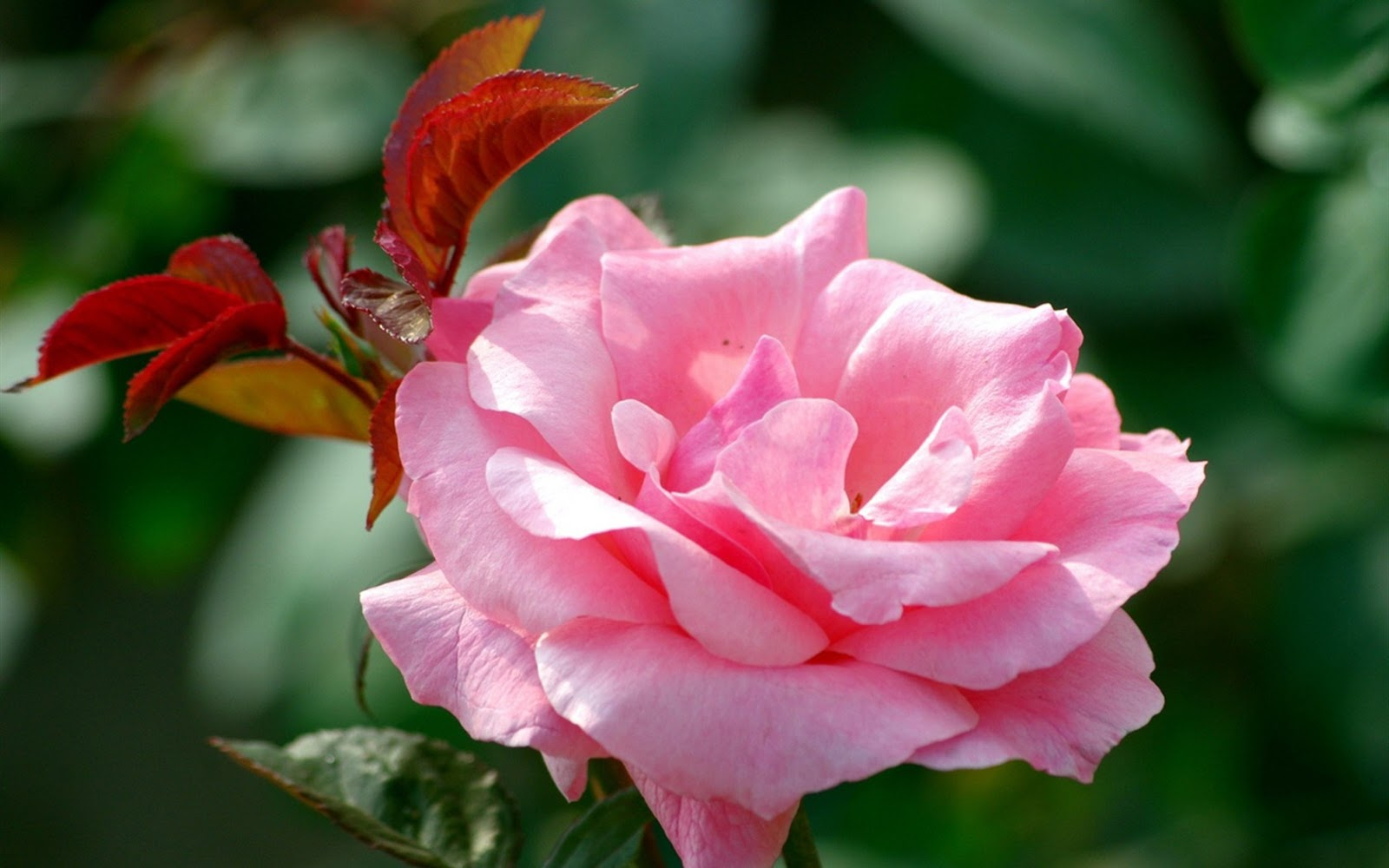 pink rose in - photo #28