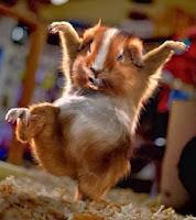 Hamsters agitados