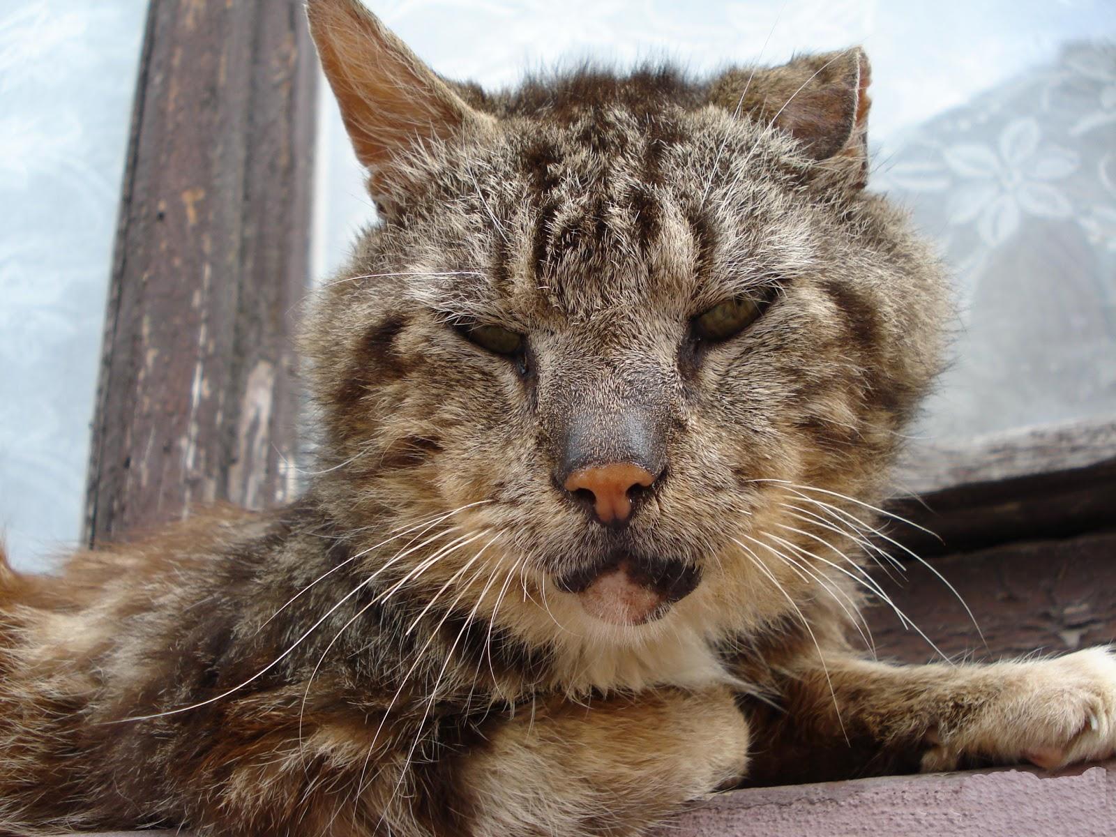 Crisis: Scruffy tabby cat Tabby Cat
