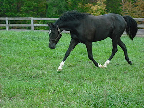 Jackson- German Warmblood