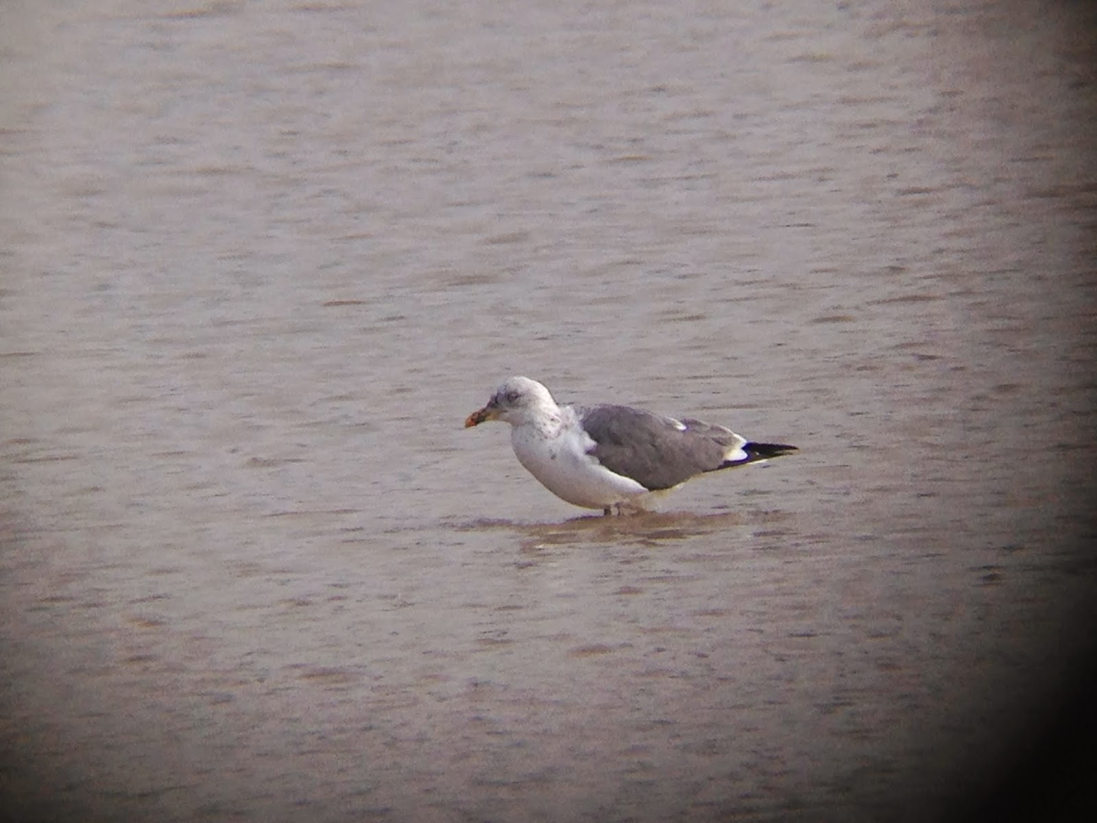 Digiscope Image of Lesser Black-backed Gull  at Brunswick Lakes, Houston TX