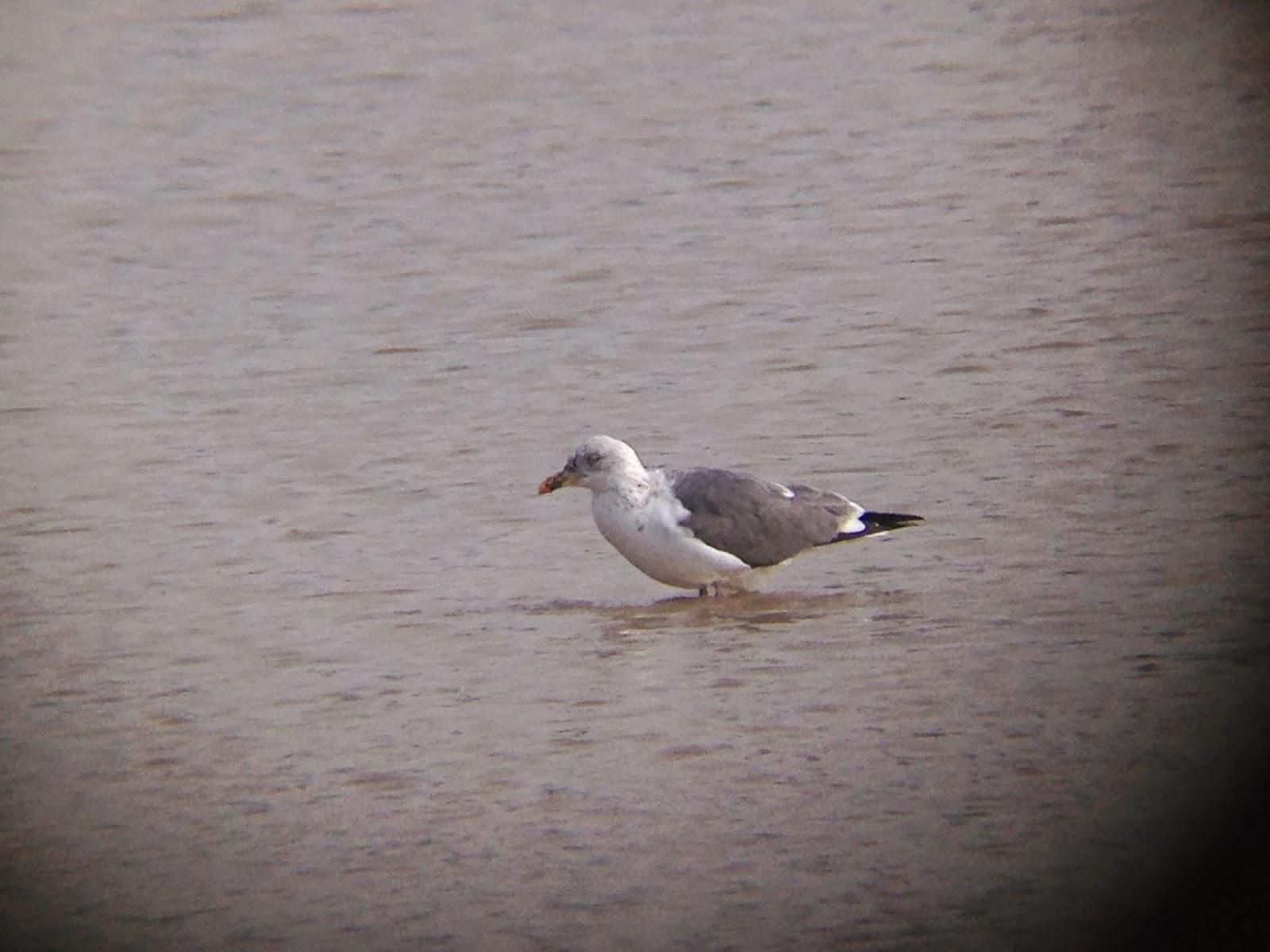 Digiscope Image of Lesser Black-backed Gull  at Brunswick Lakes, Houston TX