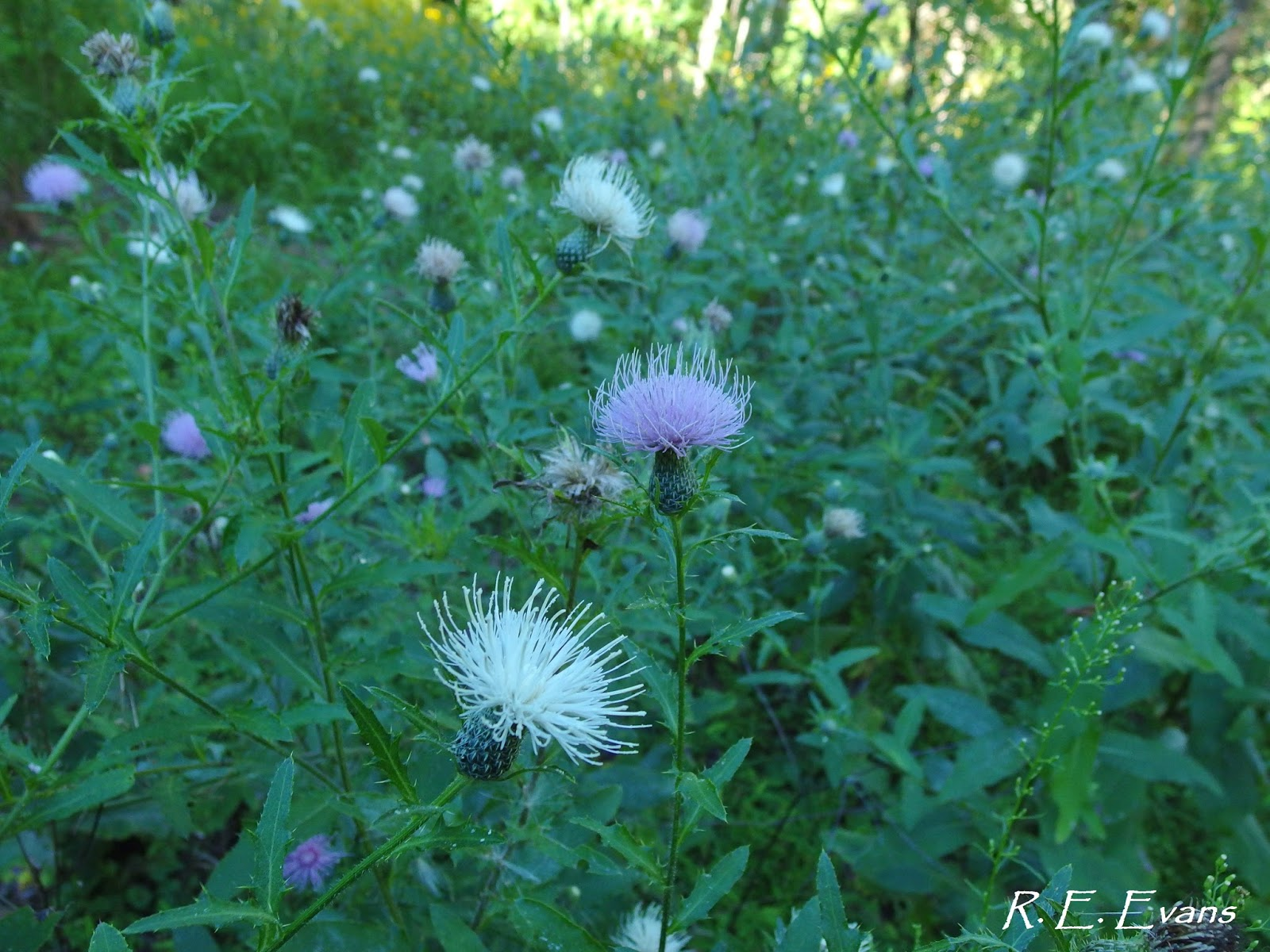 Nc Plant Conservation Beyond The Fatal Flowers Of Tall Thistle