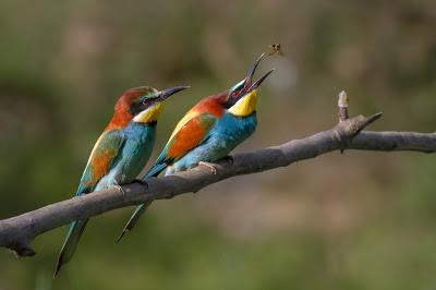 أجمل وأفضل صور, أجمل صور الطيور, وروار أوروبي, صقرقع,